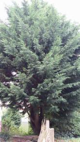 conifer-removal-copy